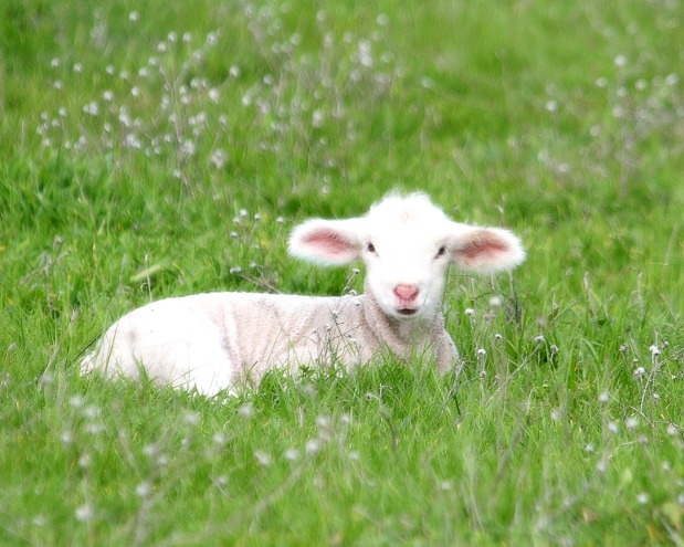 Is Hillary a Sheep or a Goat? Vote to FindOut