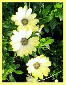 Lemonade Daisies